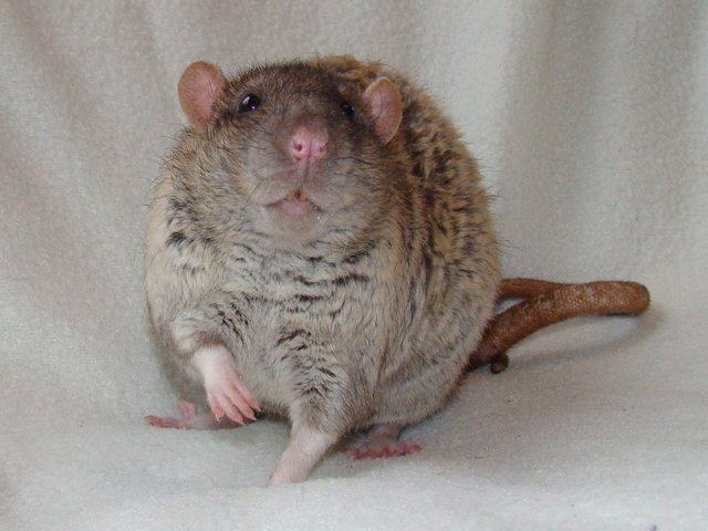 farvel til rottereden